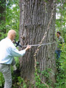 MD staff measure tree diameter