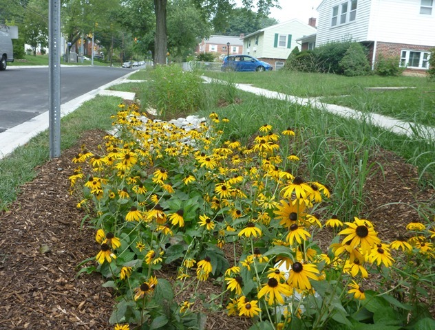 Photo of black-eyed susans blooming in a rain garden in Forest Estates.