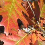 Image of leaves changing color.