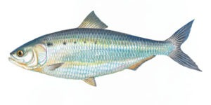 Image of American Shad