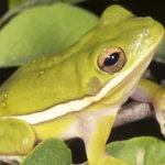 Green Treefrog Todd Pierson