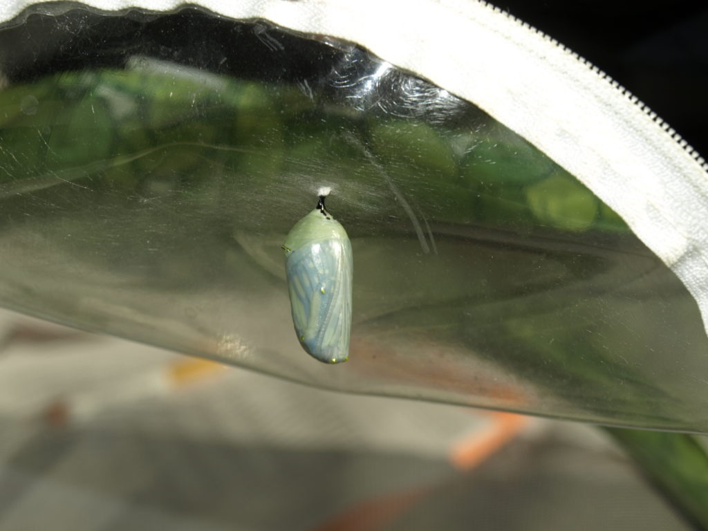 Monarch chrysallis