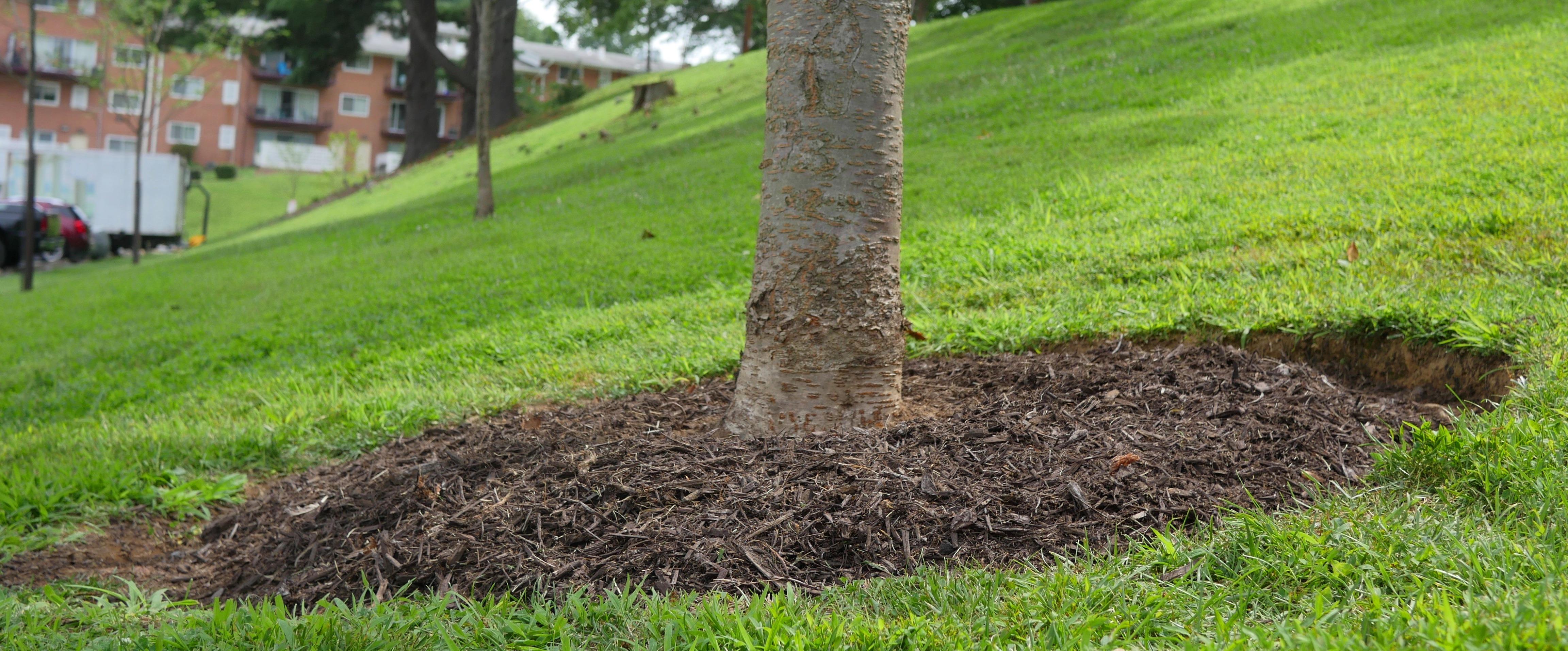 Proper mulch around a tree