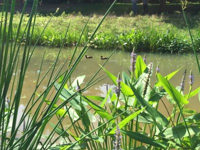 The Fallsberry stormwater pond 11 months after construction, with plants and ducks.