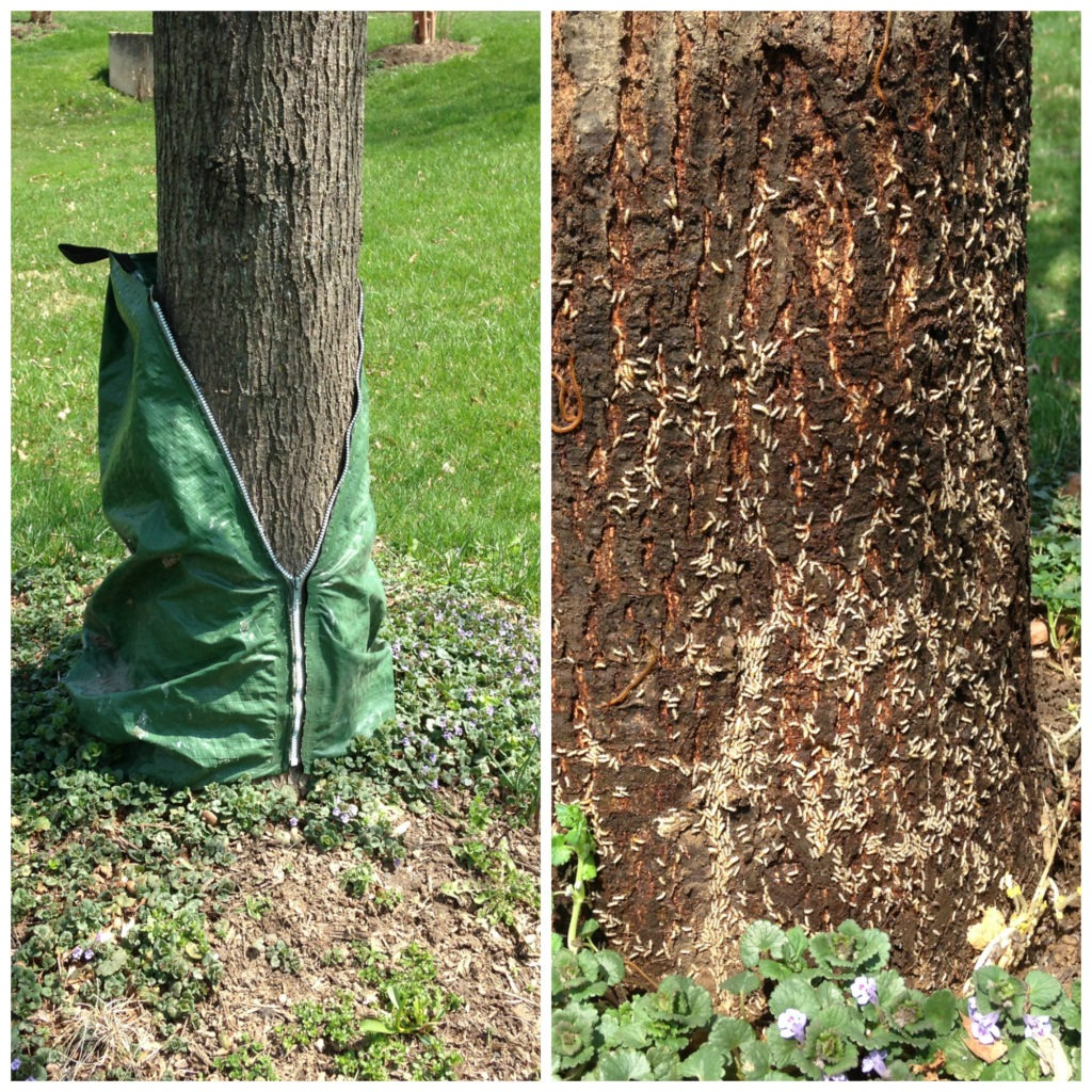 Tree rot on tree from watering bag