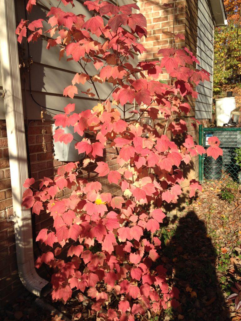 Mapleleaf viburnum in the fall