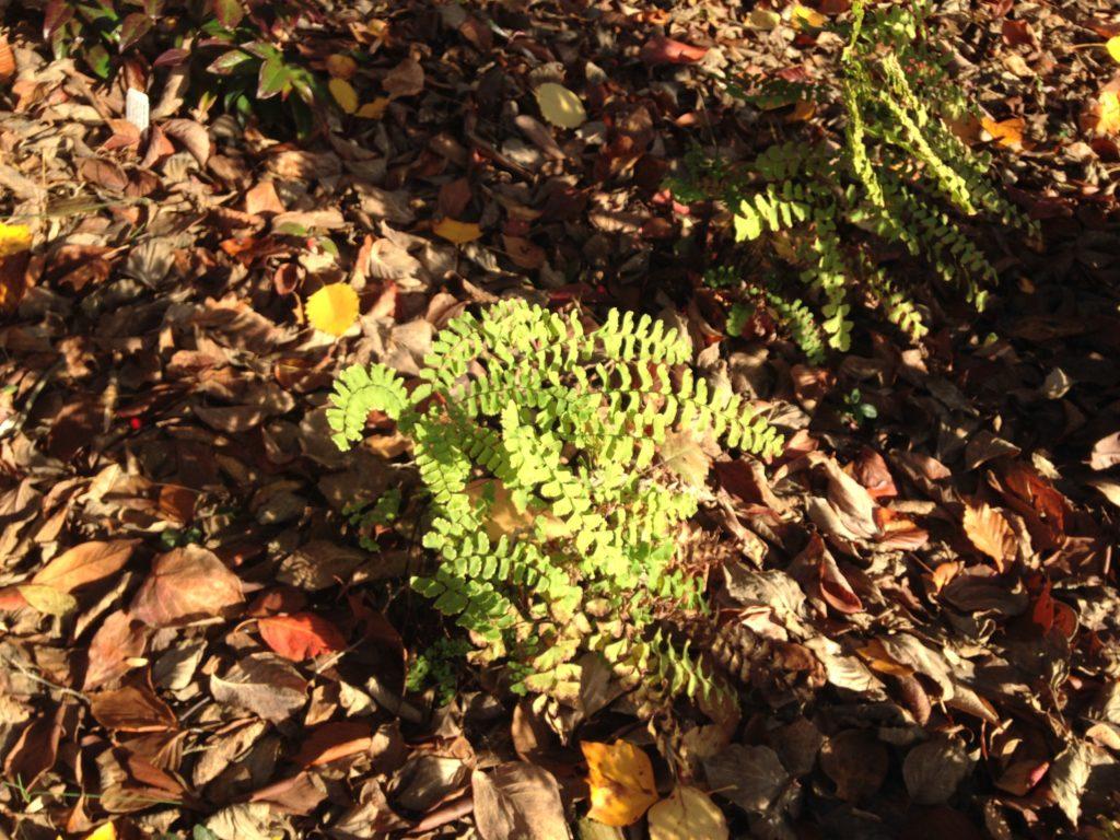 Maidenhair fern in the fall