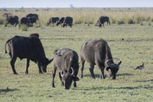 Buffalo grazing. Photo by Andrew Ashton/Flickr