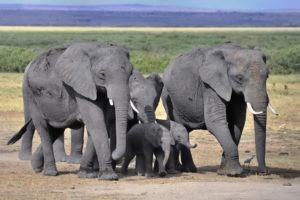 Four elephants walking in the savanna. Photo by diana_robinson/flickr