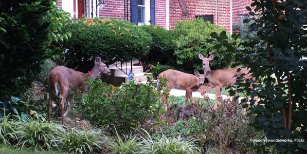 Deer in front yard of house, eating plants