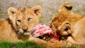 Two lions, one eating meat. Photo by Tambako The Jaguar/Flickr