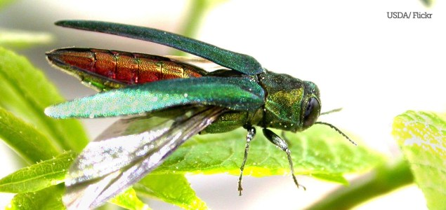 Emerald Ash Borer by USDA