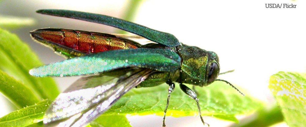 Emerald Ash Borer by USDA