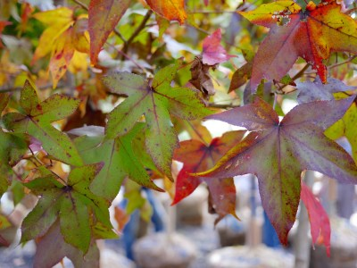 Sweetgum tree leaves in fall color