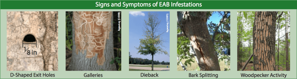 Signs and symptoms of emerald ash borer infestations