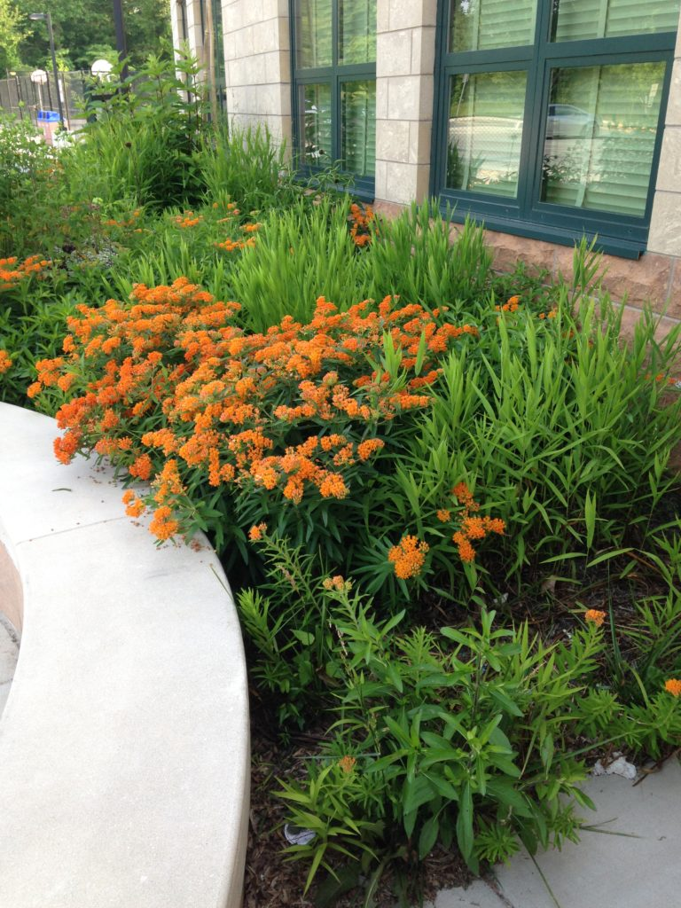Milkweed planted in front of school