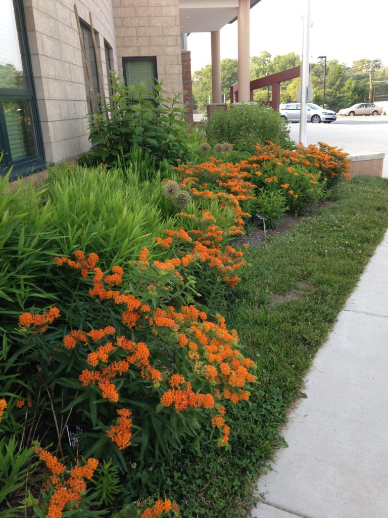 Milkweed planted at front of school