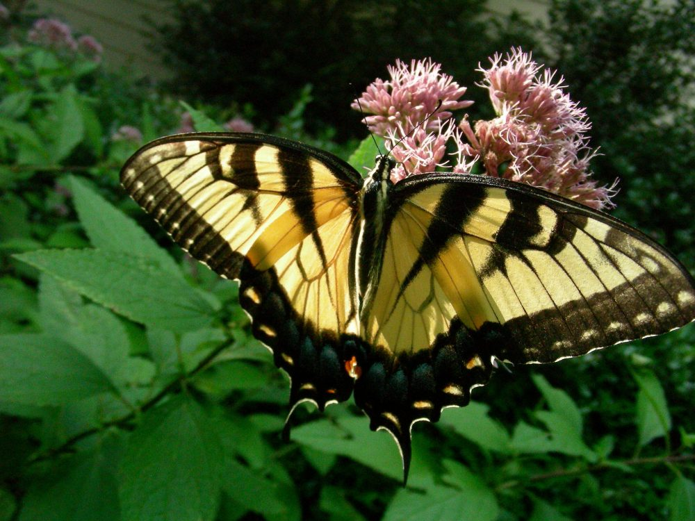 A tiger swallowtail butterfly perches atop purple flowers of the dwarf Joe Pye weed