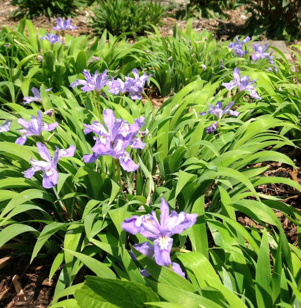 Image of purple flowers known as dwarf crested irises