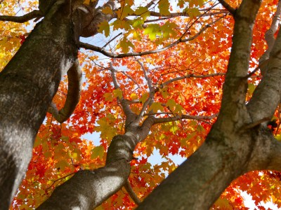 Image of sugar maple leaves turning bright red in the fall