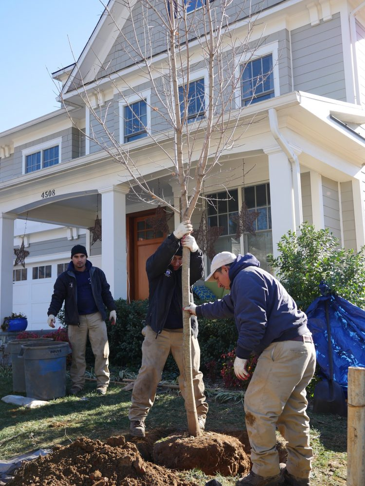 Contractors plant a tree in front of a house