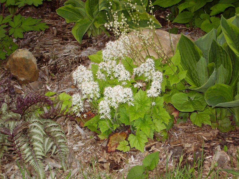 Small plant with green leaves and white flowers