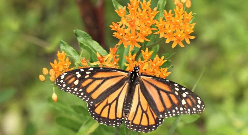 Monarch butterfly on Milkweed by John Flannery on Flickr