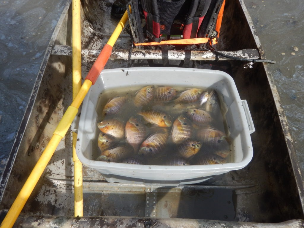 Container full of Bluegill