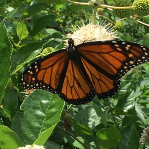Update from the field DEP RainScapes staff saw this monarchhellip