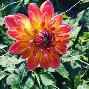 Glowing dahlias showing off their summer colors in the AgriculturalHistoryFarmParkhellip