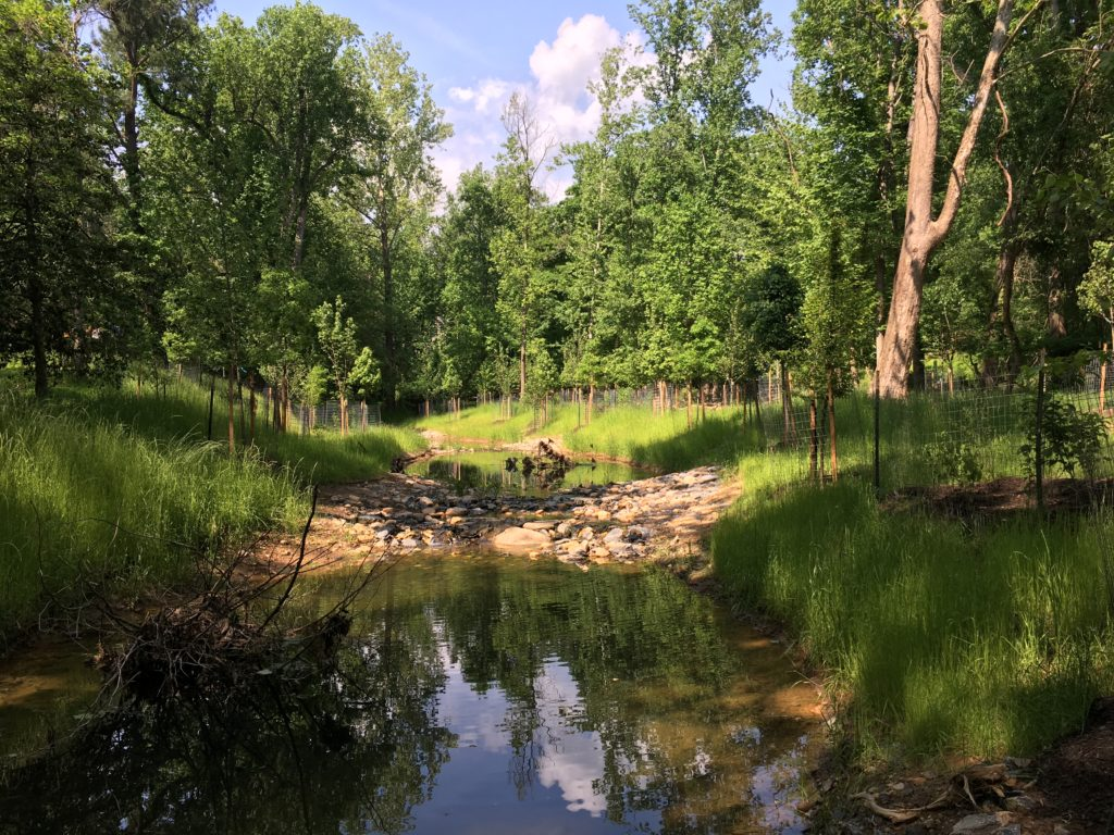 Restored stream in first season: Grass is starting to provide permanent stabilization. The restored stream both increases and improves the aquatic habitat in the park.