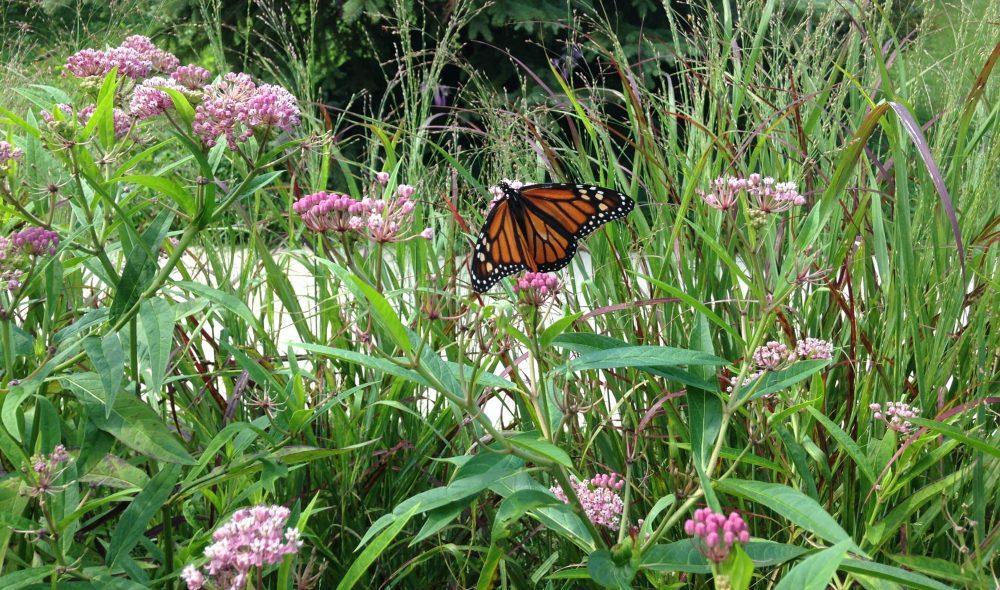 Female monarch butterfly on swamp milkweed in a Forest Estates raingarden in July