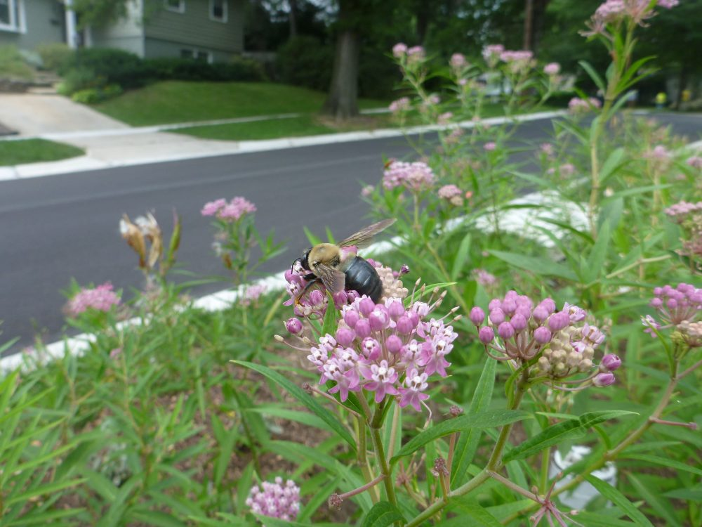 Swamp milkweed is very attractive to pollinators.