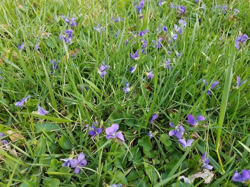Violets Flowering in Lawn